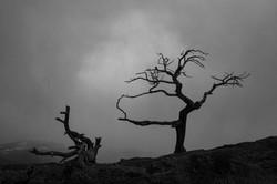 Burmis tree_BB_2402