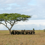 elephants sheltering under an acacia tre