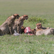 cheetahs - the five brothers