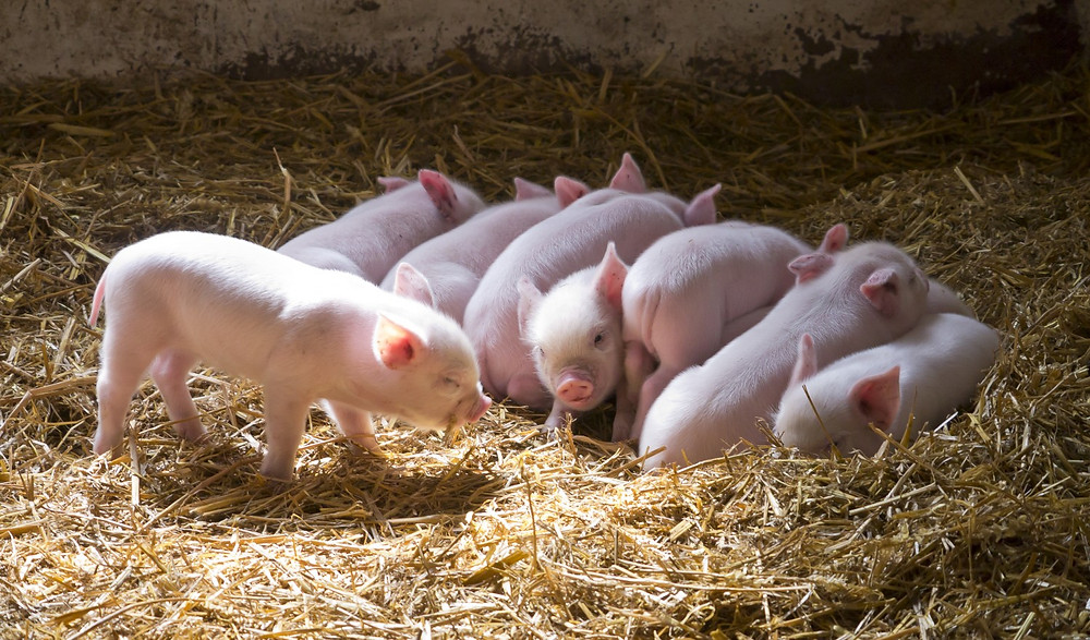 Cute Piglets on Pigouts Farm