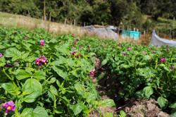 Cultivo de papa - Páramo de Guerrero