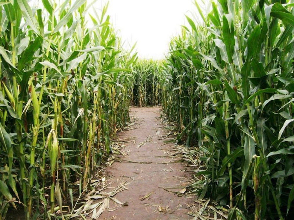 Image Inside A Corn Maze