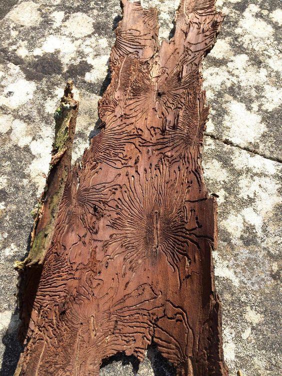 Wood Mite Mazes In Tree