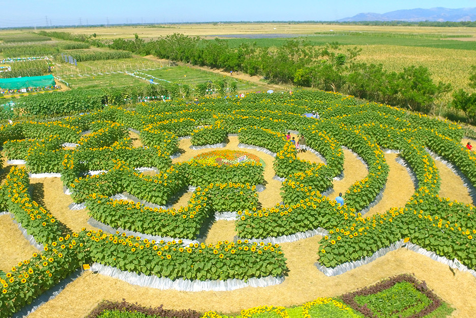 Image Of A Maze Made Of SunFlowers