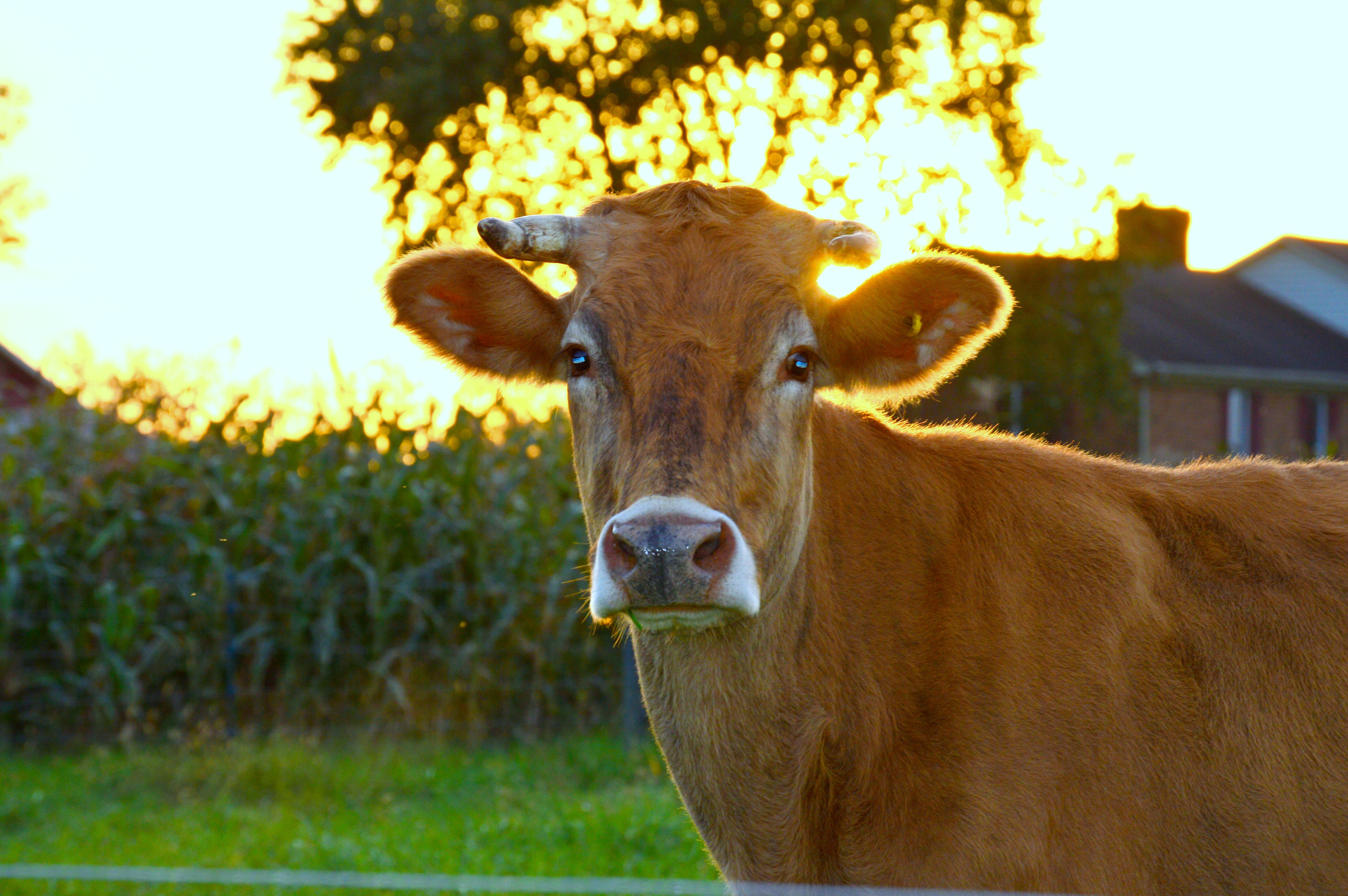 Cow3.5
