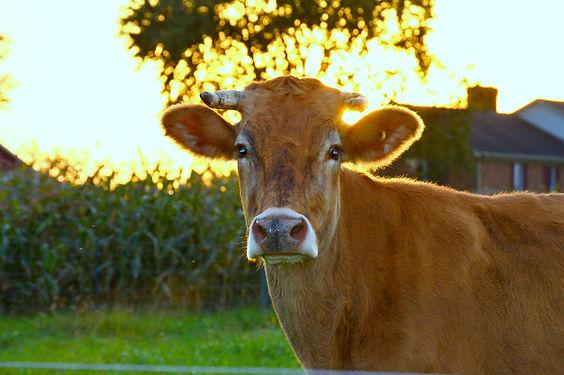 Cow3.5.jpg