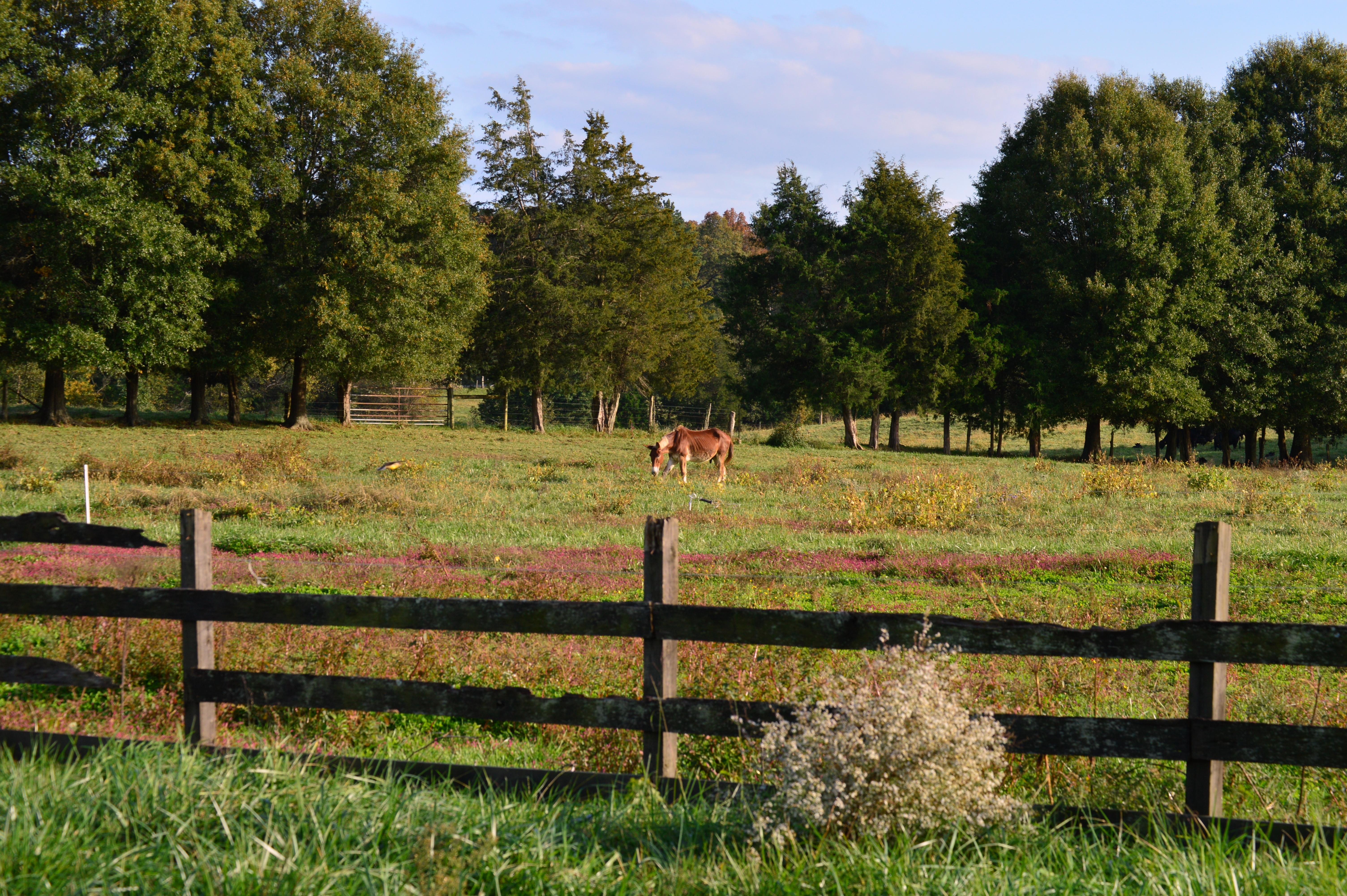 Mule Grazing