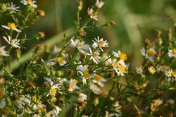 Flower of the Fields