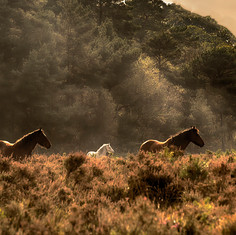 New Forest Ponies.