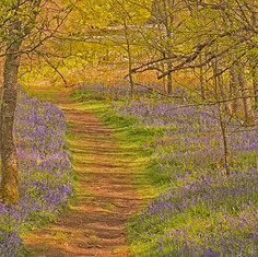 Bluebell Path, County Durham.