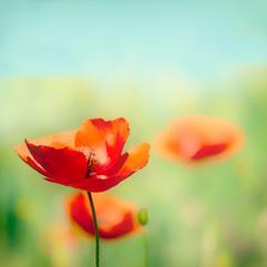 Perfect Poppy.