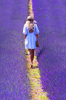 Beauty of lavender_