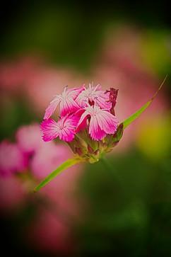 Pink Bokah.