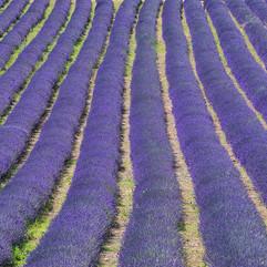 Lordington Lavender Farm.