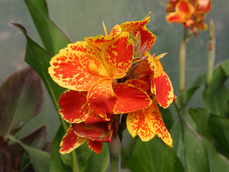 Cannas - Latin American Style for your garden