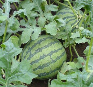 Envisage garden vegetable