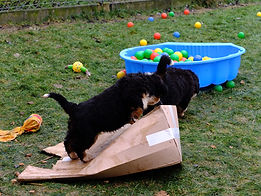 Berner Sennenhund Welpen