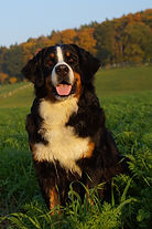 Berner Senenhund, Coeur