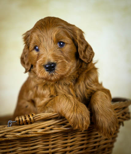 Sunrise Australian Labradoodles | puppies for sale | Florida