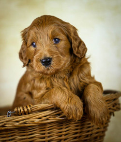 Labradoodle red puppy