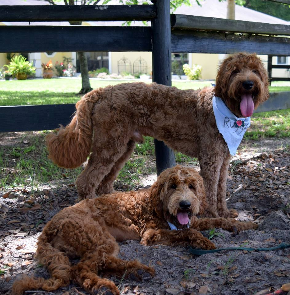 adult red labradoodles