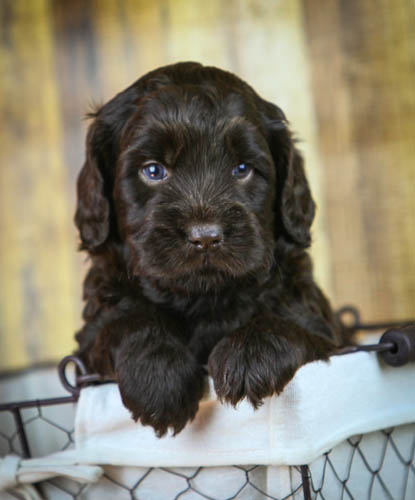 Labradoodle chocolate puppy