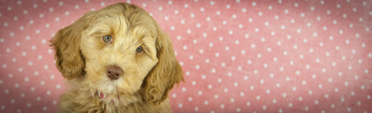 puppy adoption process