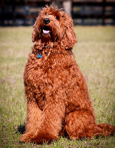 Red Autralian Labradoodle