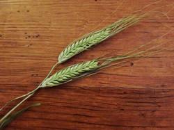 大麦の穂.jpg