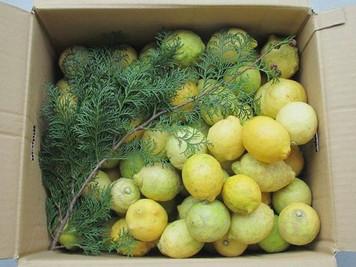 加藤さんのレモンが届きました