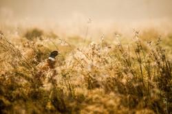 Pheasant at dawn