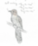 Plaintive cuckoo.png