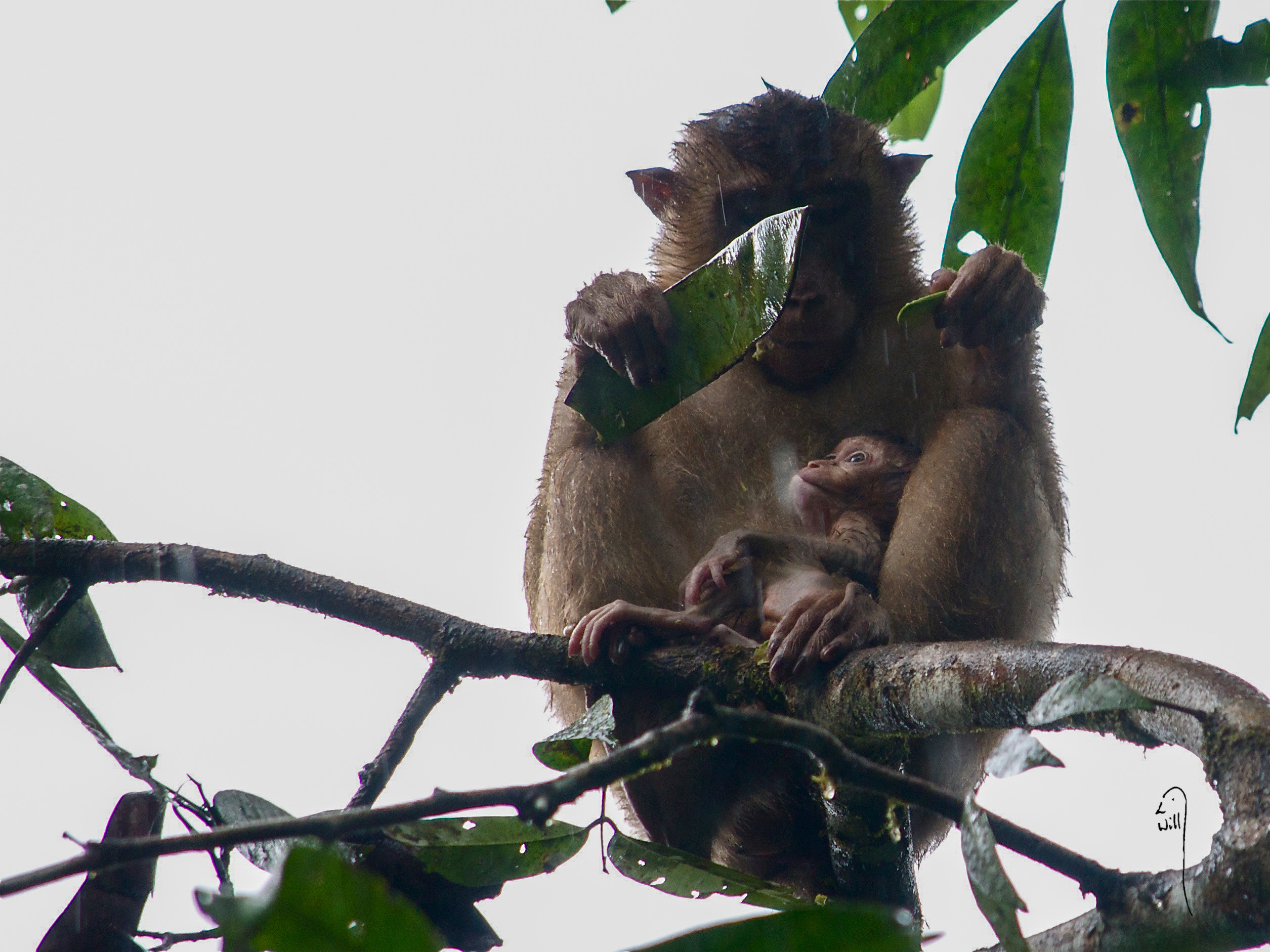 Pig Tailed Macaque Love