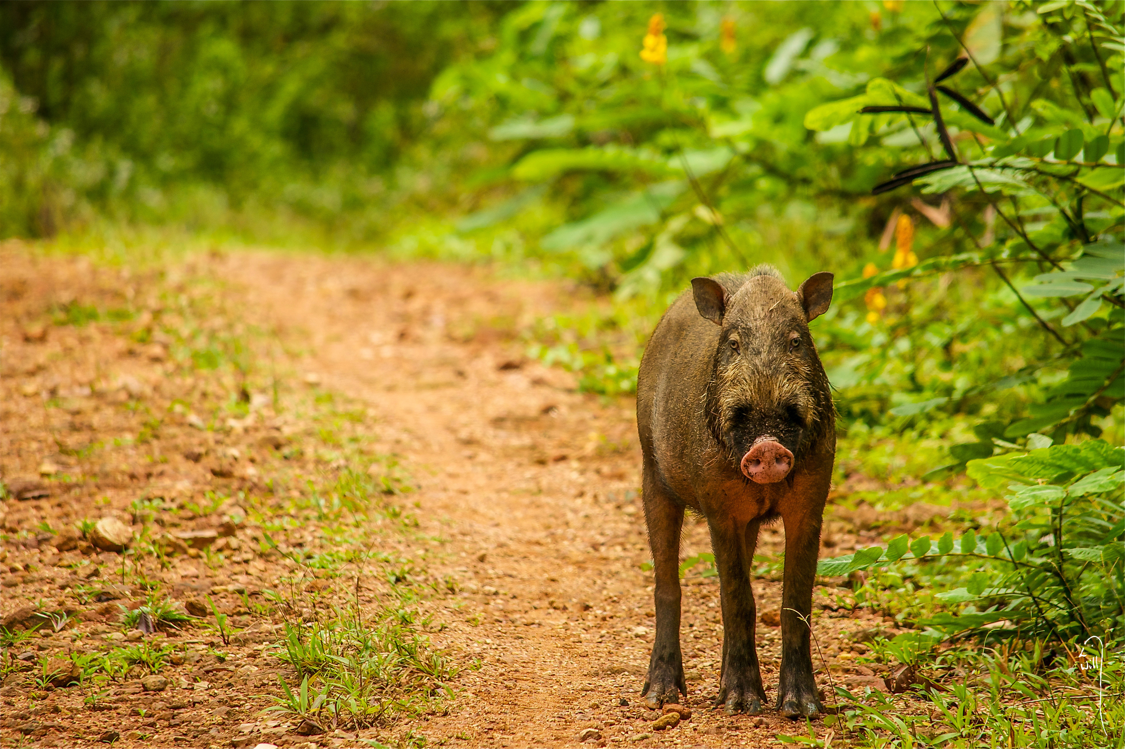 Bearded Pig, Borneo