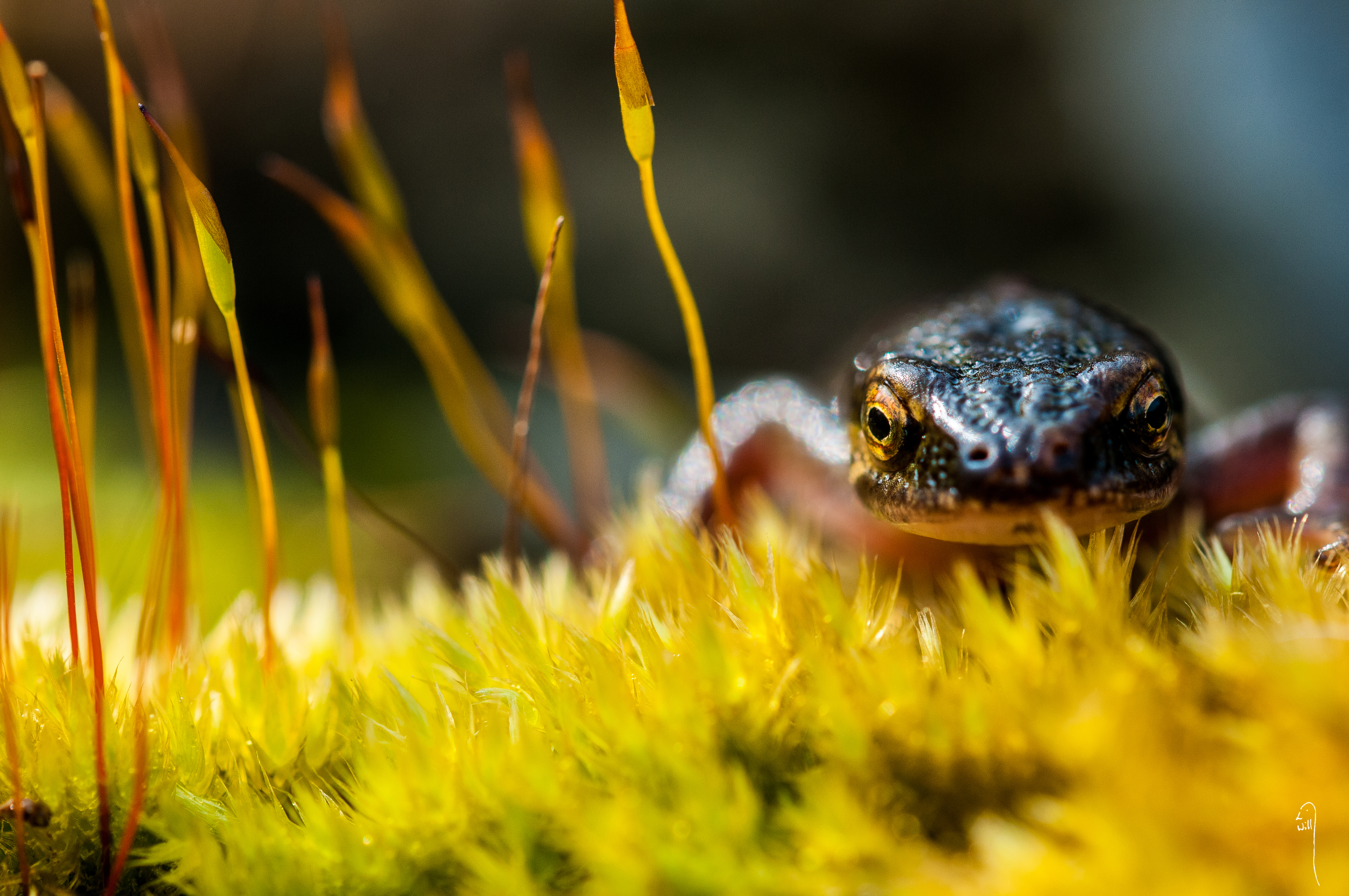 Common Newt on Moss