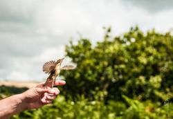 Reed Warbler, Bird ringing