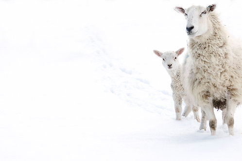 A3 Size Print - Snow Sheep