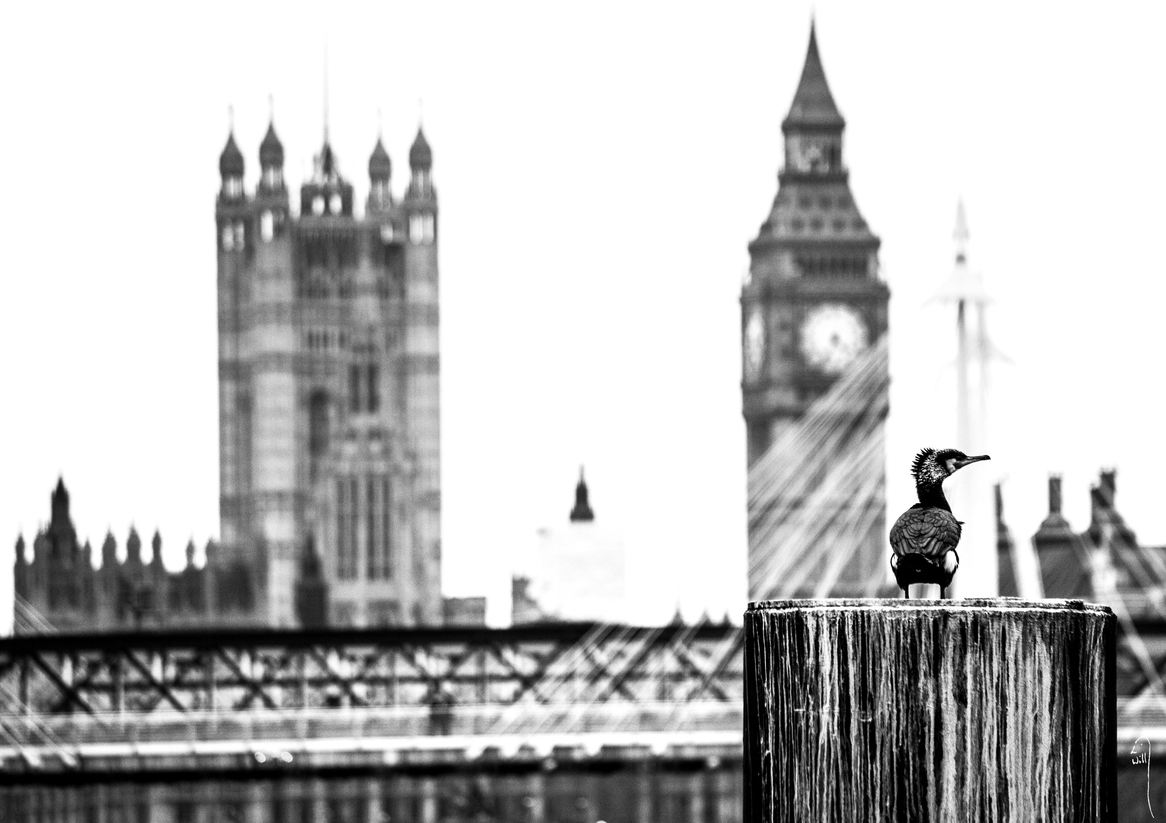 London Cormorant