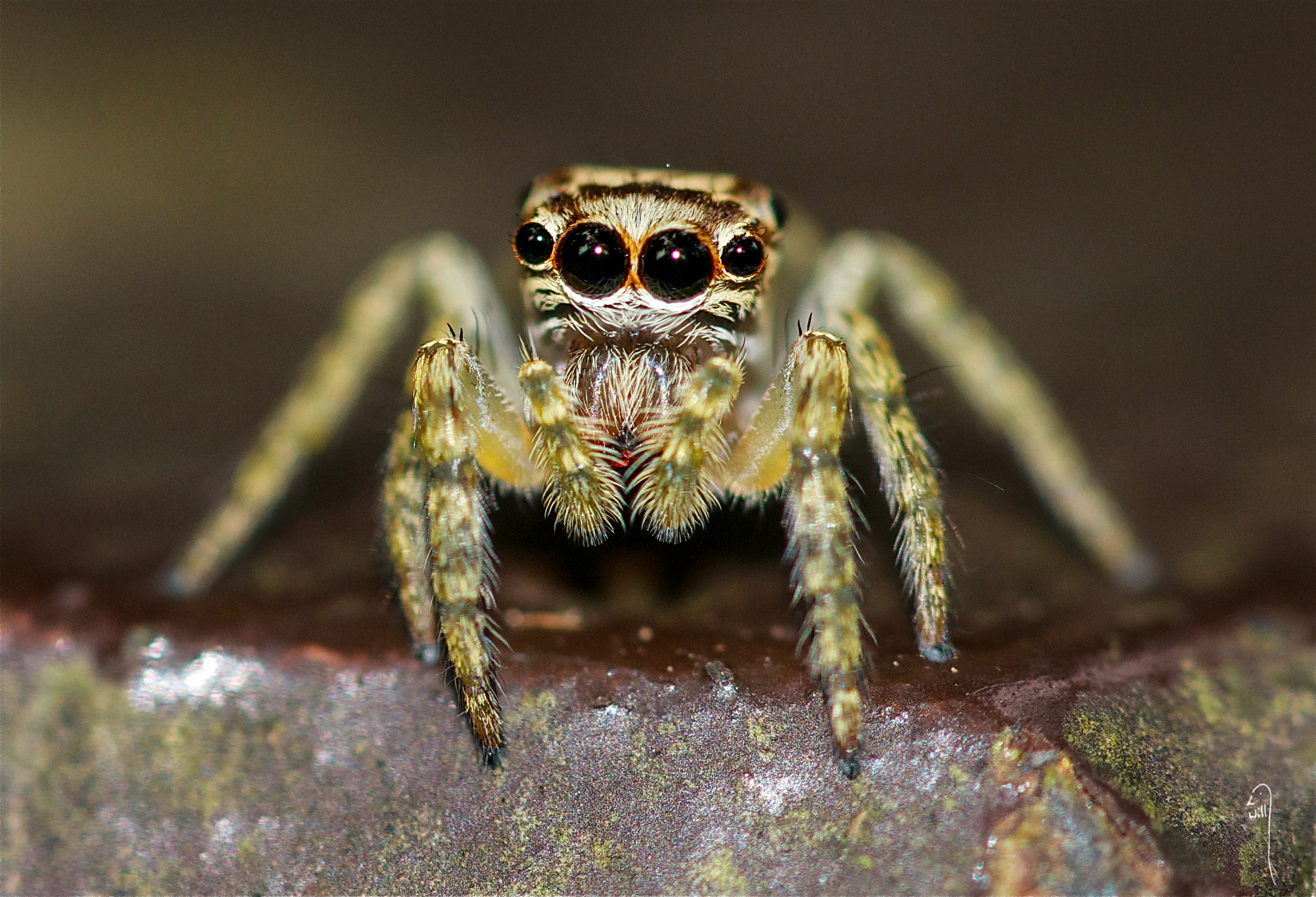 Bornean Jumping Spider