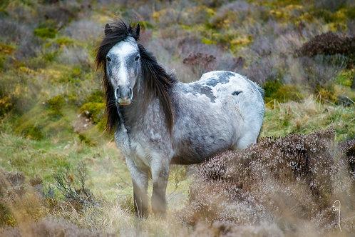 A3 Size Print - Wild Pony