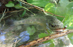 truite ruisseau des Blachères