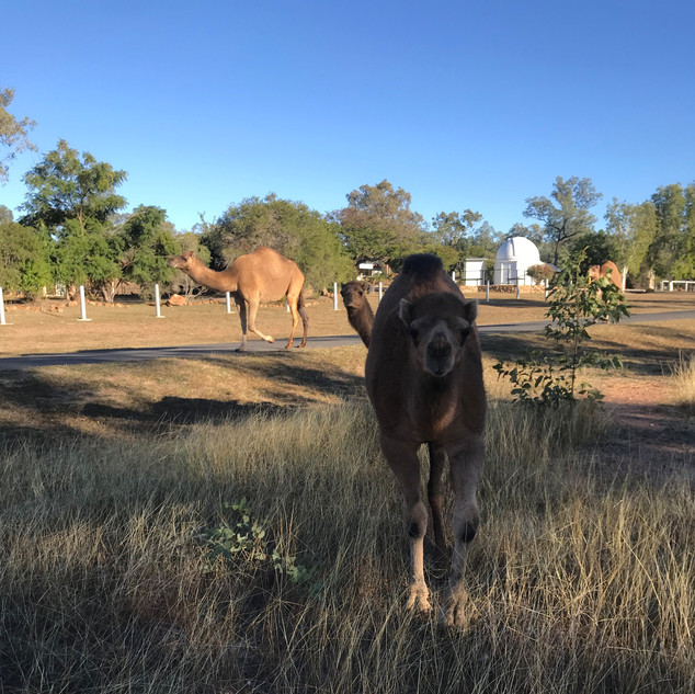 Camels walking past