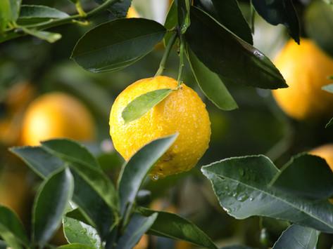 Der Zitronenwald von Poros
