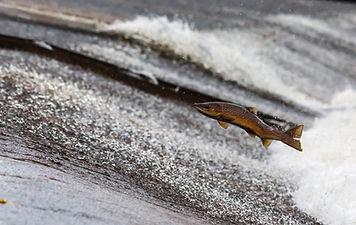 salmon-1107404_1920.jpg