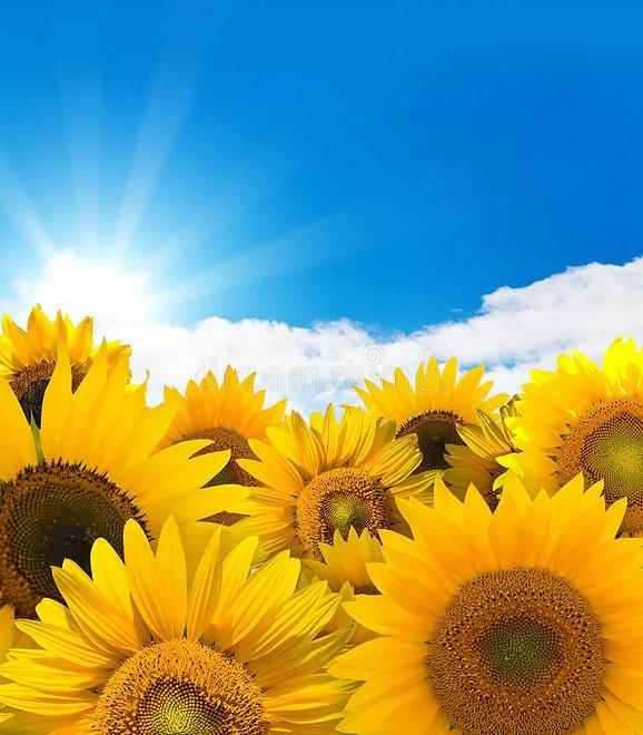 sunflower-panorama-11457228.jpg