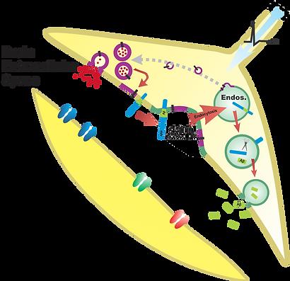 presyn Abeta gen diagram.png