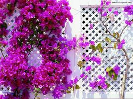 Ihlamurlar Çiçek Açtığı Zaman