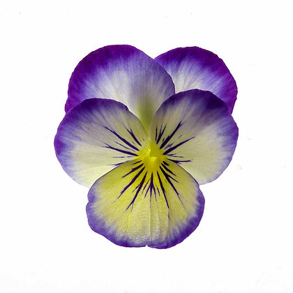 Purple Fringed Viola