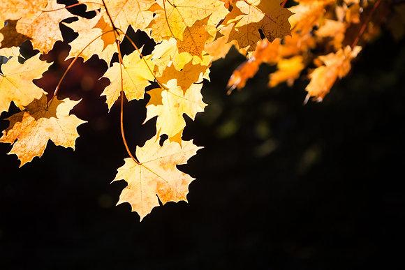 Golden Maple Glow, Chautauqua, NY