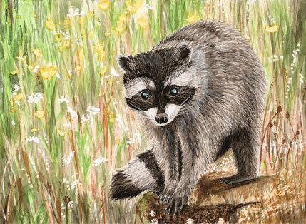 Raccoon, print